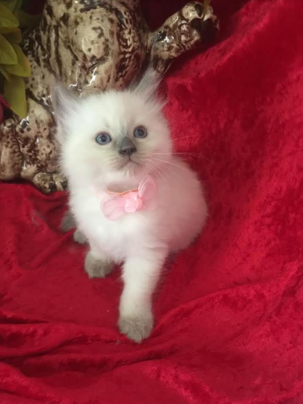 Ragdoll kittens for sale Naples Florida | Dollinska Ragdolls